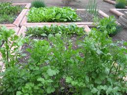 when to use seeds or transplants in the vegetable garden veggie