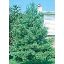 white pine trees shop 2 25 gallon eastern white pine screening tree l3619 at