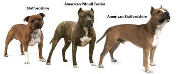 colby american pitbull terrier different breeds of pit bull good pit bulls