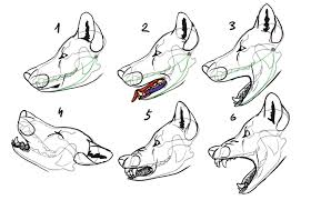 how to draw a wolf head and shoulders knees and paws
