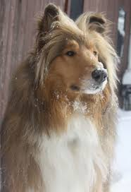 House Dogs by 137 Best Irresistible Dogs U003c3 Images On Pinterest Rough Collie