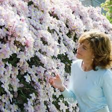 aliexpress com buy clematis seeds clematis montana mayleen seeds