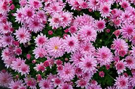 Chrysanthemum Never Give A French Person Chrysanthemums