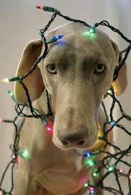 golden retriever merry card puppy dogs