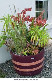 Half Barrel Planter by Container Planted Barrel Planter Stock Photos U0026 Container Planted