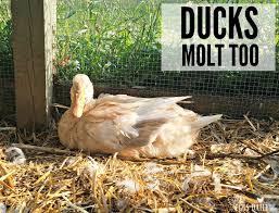 ducks molt too fresh eggs daily