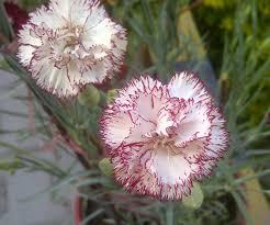 file carnation flower jpg wikimedia commons
