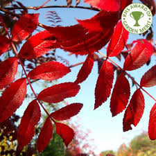 sorbus commixta embley buy scarlet japanese rowan trees
