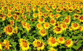 sunflower wallpapers cool sunflower background screen hd wallpapers hd wallapers for free