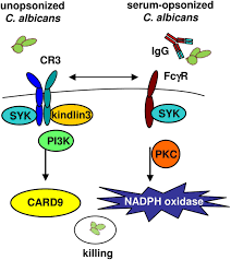Independent by Two Independent Killing Mechanisms Of Candida Albicans By Human