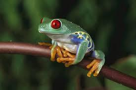 free frog wallpaper animals town