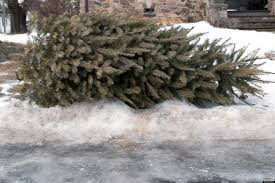 people who leave old christmas trees on sidewalk now forced to eat