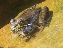 what lives in my yard northern green frogs rana clamitans