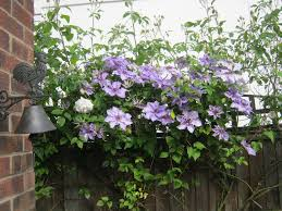 clematis viticella alba luxurians from sewing room to potting shed