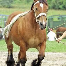 chambre d agriculture de haute corse superb chambre d agriculture de haute corse 14 le cheval de trait