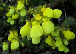 slipper flower calceolaria slipper flower http lomets