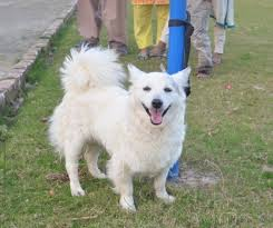 american eskimo dog for sale in hyderabad russian for sale lahore