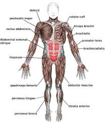 Anatomy And Physiology Class Advanced Muscle Anatomy Kinesiology And Remedial Exercise