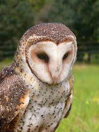 Where Does The Barn Owl Live Barn Owl Wikipedia