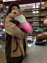 Possum In My Backyard 13 Best Pet Opossum Projects Floki Images On Pinterest Animals