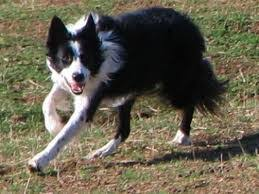 belgian sheepdog border collie mix co habitating with a herding dog thedogtrainingsecret com