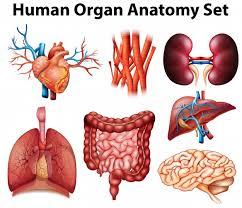 Anatomy Of Human Body Organs Poster Of Human Organ Anatomy Set Vector Free Download