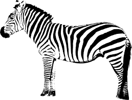 pattern formation zebra welcome to the visible embryo