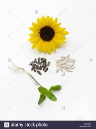 sunflower life cycle with seedling seeds with black seed coat