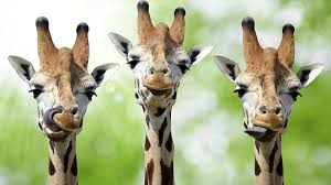 bbc learning english words in the news the secret of giraffes