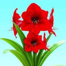 amaryllis flower bulbs garden plants flowers the