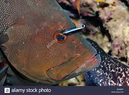 red grouper stock photos u0026 red grouper stock images alamy