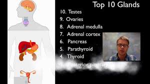 the endocrine system youtube