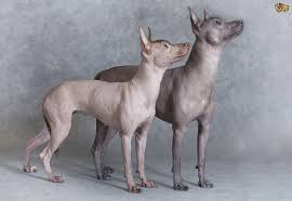 caring for the skin of hairless dogs pets4homes