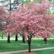 185 best flowering trees images on nature plants