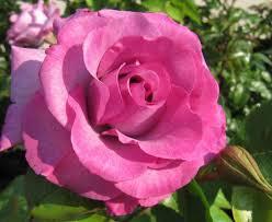 Fragrant Rose Plants - 345 best roses 18 images on pinterest gardens flowers and