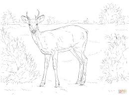 white tailed deer coloring page free printable coloring pages