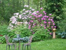 us native plants victorian england treasured us rhododendron american gardening