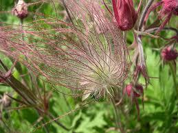 native prairie plants prairie smoke wildflower how to plant prairie smoke