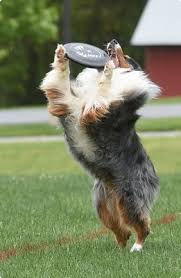 australian shepherd frisbee running jumping catching to be top dogs reading eagle news