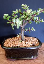 Small Indoor Trees by Dwarf Variegated Jade Small Indoor Bonsai Tree Small
