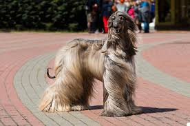 afghan hound times kerry blue terrier from best pets for people with allergies