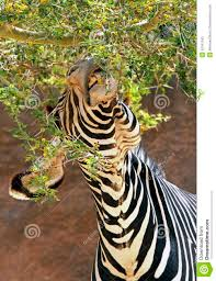 zebra stock photo image 43181343