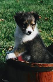 sheltie x australian shepherd shetland sheepdog sheltie info puppies pictures temperament