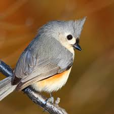 tufted titmouse national geographic