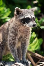 1388 best ti racoon images on pinterest raccoons wild animals