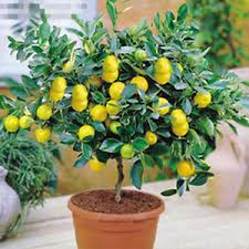 10pcs lemon tree indoor outdoor available heirloom fruit