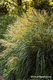 44 best growing grass images on ornamental grasses
