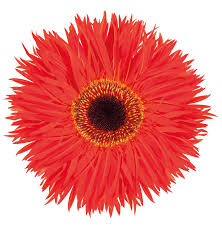 cut flowers gerbera trip photo selecta cut flowers