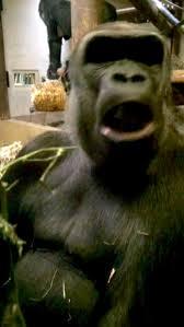 Gorilla Warfare Meme - pic 3 a gorilla flipped me off so i flipped him off in return and