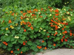where to buy nasturtium flowers gardening ideas pinterest
